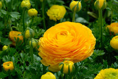 Flor e botões do ranúnculo Imagens de Stock