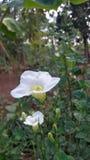 Flor e branco Fotografia de Stock Royalty Free