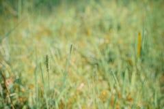 Flor e campos da grama verde no backgrou fresco da natureza do nascer do sol Fotografia de Stock Royalty Free