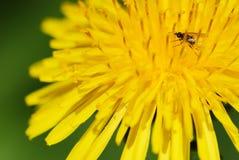 Flor e erro amarelos do dente-de-leão Fotografia de Stock Royalty Free