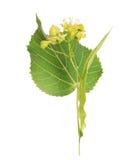 Flor e a folha da árvore de Linden Fotografia de Stock Royalty Free