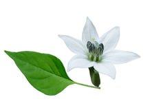 Flor e folha do pimentão Foto de Stock Royalty Free