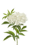 Flor e folhas da baga de sabugueiro Imagem de Stock Royalty Free