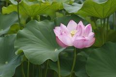 Flor e folhas de lótus sagrados Imagem de Stock