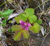 Flor e folhas de Nagoonberry em Alaska Fotografia de Stock Royalty Free