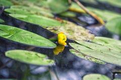 Flor e folhas do Água-lírio amarelo no lago Imagem de Stock