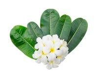 Flor e folhas do Plumeria Imagens de Stock