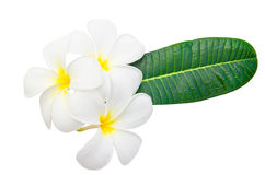Flor e folhas do Plumeria Foto de Stock Royalty Free