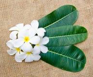 Flor e folhas do Plumeria Imagens de Stock Royalty Free