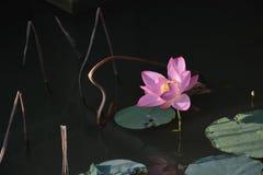 Flor e folhas dos lótus Foto de Stock Royalty Free