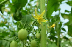 Flor e fruto da planta de tomate Imagem de Stock