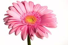 Flor e gotas em um branco Fotos de Stock