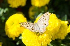 Flor e insecto, mosca de la maravilla de la mantequilla en el jardín Imágenes de archivo libres de regalías