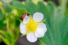 Flor e joaninha pequenos Imagens de Stock