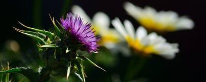 Flor e margaridas esplêndidas do cardo imagem de stock