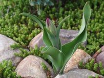 Flor e musgo da tulipa em um jardim rochoso fotos de stock royalty free