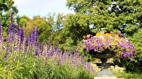 Flor e petúnia coloridos de florescência foto de stock