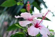 Flor e pistil do hibiscus fotografia de stock