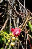 Flor e ramo da árvore da bala de canhão fotos de stock royalty free