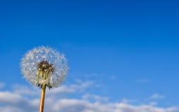 Flor e sementes do dente-de-leão contra o fundo do céu imagens de stock royalty free