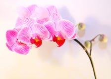 Flor e sombra listadas cor-de-rosa da orquídea Imagem de Stock
