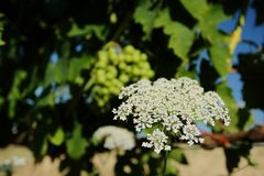 flor e uvas Imagens de Stock