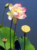 Flor e vagens dos lótus Fotos de Stock Royalty Free