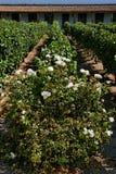Flor e vinhedo no Chile Fotografia de Stock Royalty Free