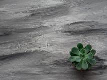 Flor ECHEVERIA en fondo gris Copie el espacio Fotografía de archivo libre de regalías