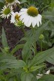 Flor - Echinacea - Alaska Foto de archivo libre de regalías