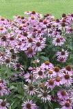Flor - Echinacea - Bravado imagen de archivo libre de regalías