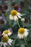 Flor - Echinacea - Cheyenne Spirit Imagen de archivo libre de regalías