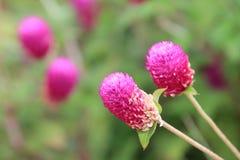 Flor, el botón del soltero, Globeamaranth Fotografía de archivo libre de regalías