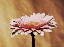 Flor elegante do gerbera Fotos de Stock Royalty Free