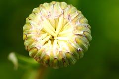 Flor em botão Imagem de Stock