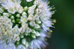 Flor em botão Fotografia de Stock Royalty Free