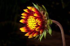 Flor em botão Foto de Stock