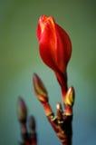 Flor em botão Imagem de Stock Royalty Free