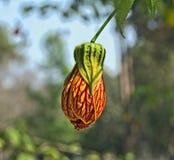 Flor em botão Fotos de Stock Royalty Free
