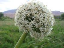 Flor em botão Foto de Stock Royalty Free