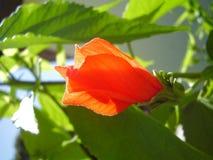 Flor em botão Fotografia de Stock