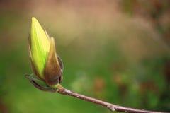 Flor em botão amarela da magnólia Imagens de Stock