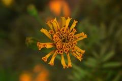flor em botão amarela isolada do cravo-de-defunto no jardim imagens de stock royalty free