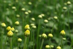 Flor em botão amarela no fundo verde natural Foto de Stock