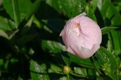 A flor em botão branca Unexpanded da peônia cobriu o orvalho Fotografia de Stock Royalty Free