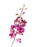 Flor em botão cor-de-rosa bonita da orquídea isolada no fundo branco Foto de Stock Royalty Free