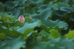 Flor em botão cor-de-rosa de lótus na lagoa Foto de Stock