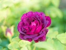 A flor em botão da rosa vinous Foto de Stock Royalty Free