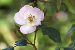 Flor em botão de Brier fotografia de stock