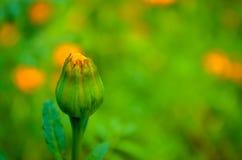 Flor em botão de florescência! Fotografia de Stock
